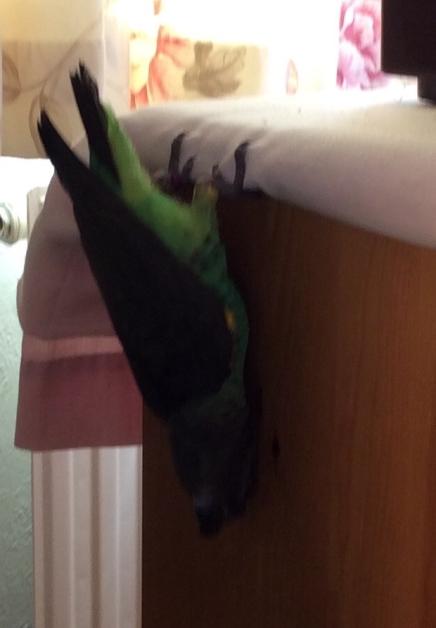 batbird