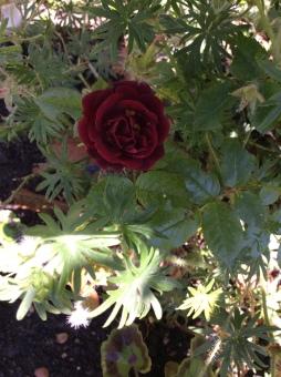 ruffles rose