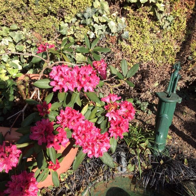 open rhododendren