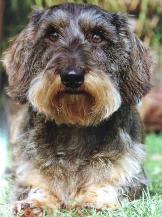 dachshund 2