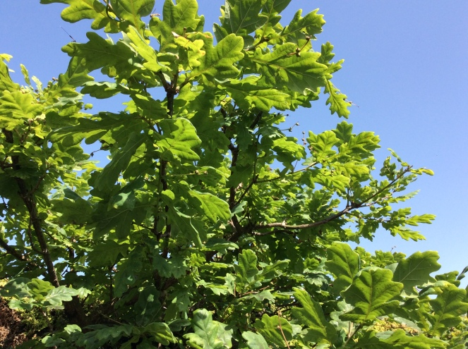 Oak tree june 2019