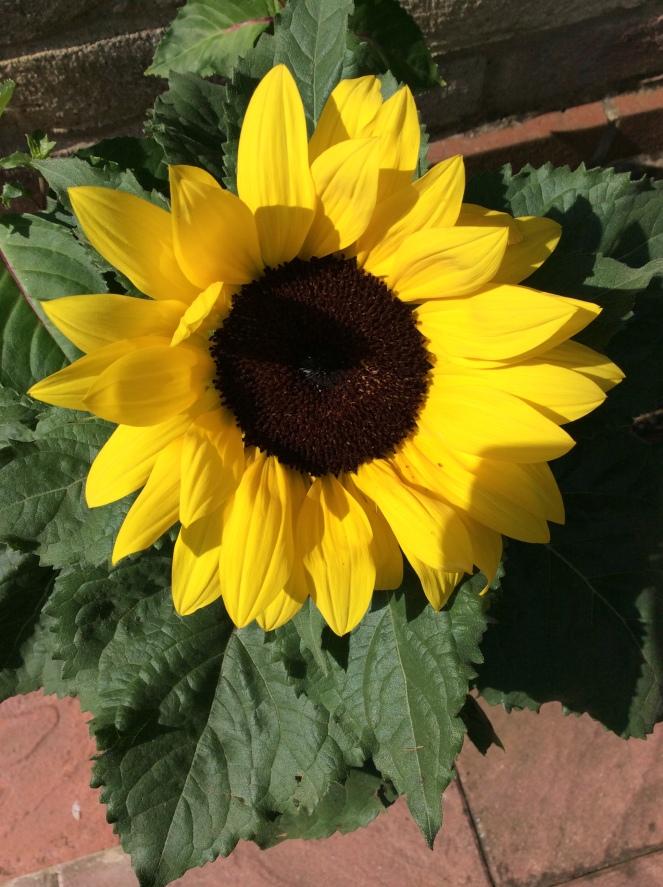 sunflower 2019