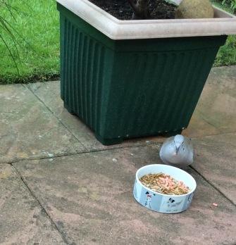 dove feeding 1