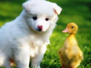 dog and duckling