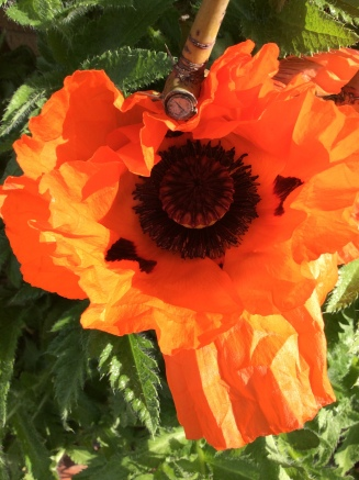 poppy close up
